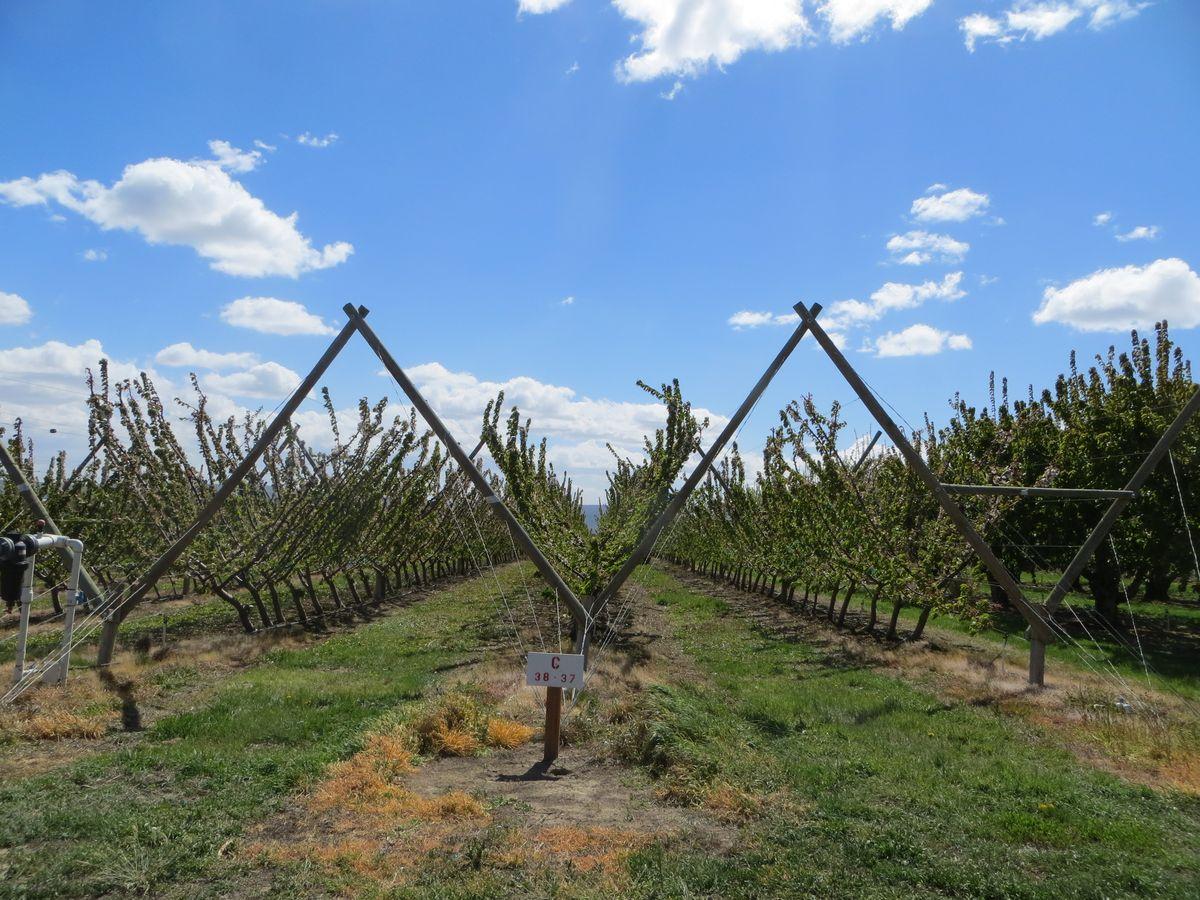Y-образная компоновка вишневых деревьев